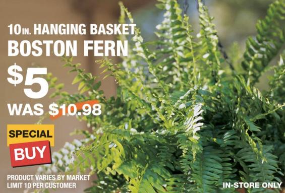 Home Depot 10 Inch Hanging Basket Boston Ferns Only 5 Reg 10 98
