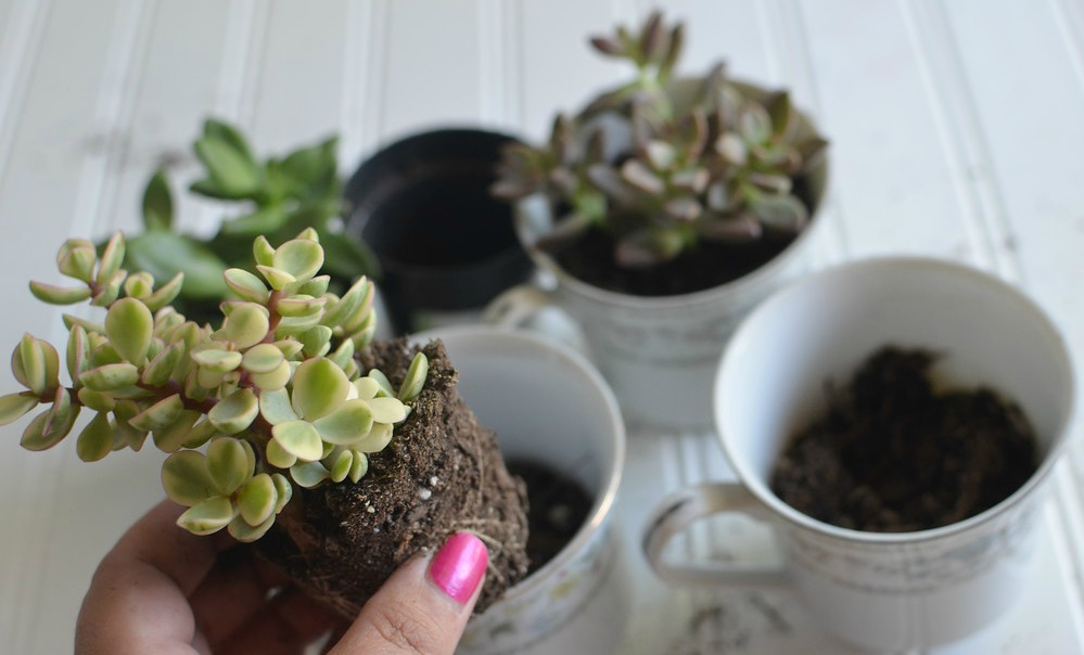 putting succulent plants in teacups