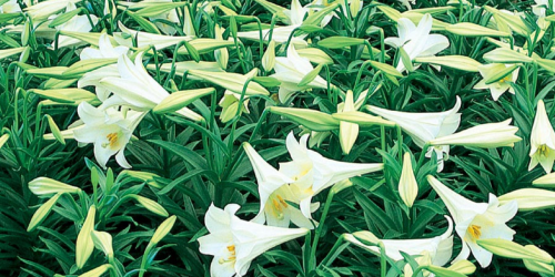 Lowe's: Easter Lily ONLY $1 (Regularly $8)
