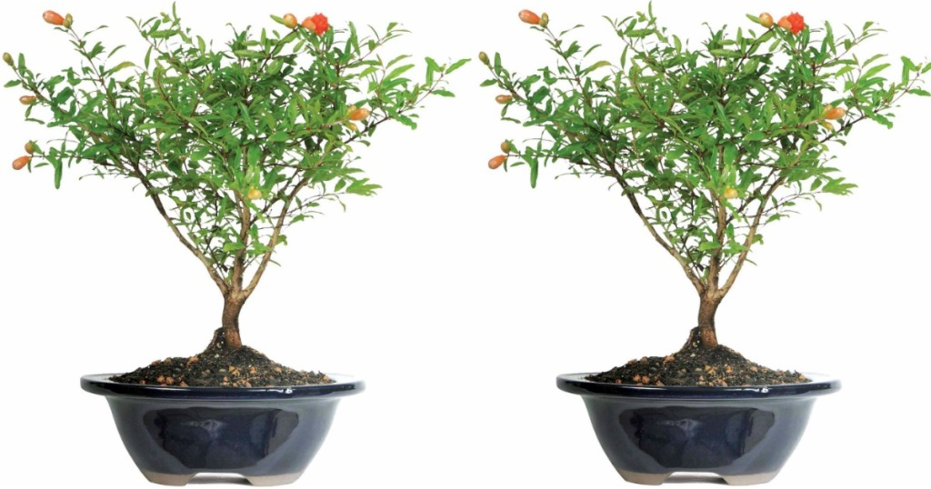 Walmart Pomegranate Bonsai Tree Only 21 49 Regularly 40 Blooms All Summer Hip2save