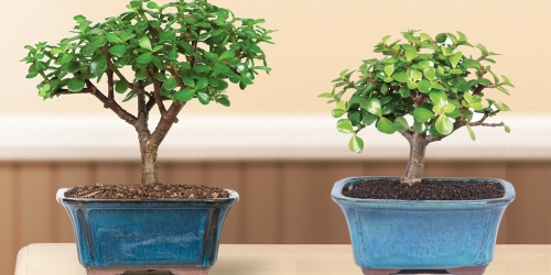 Jade Bonsai Tree Only $15.35 (Regularly $30)