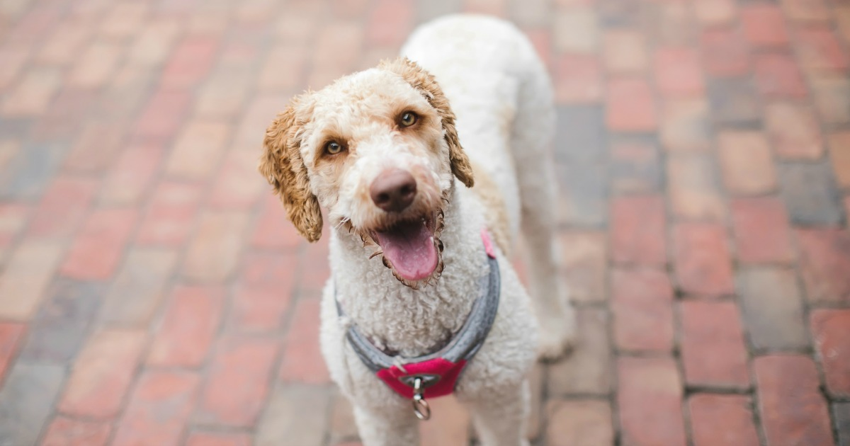 goldendoodle dog on brick pavers