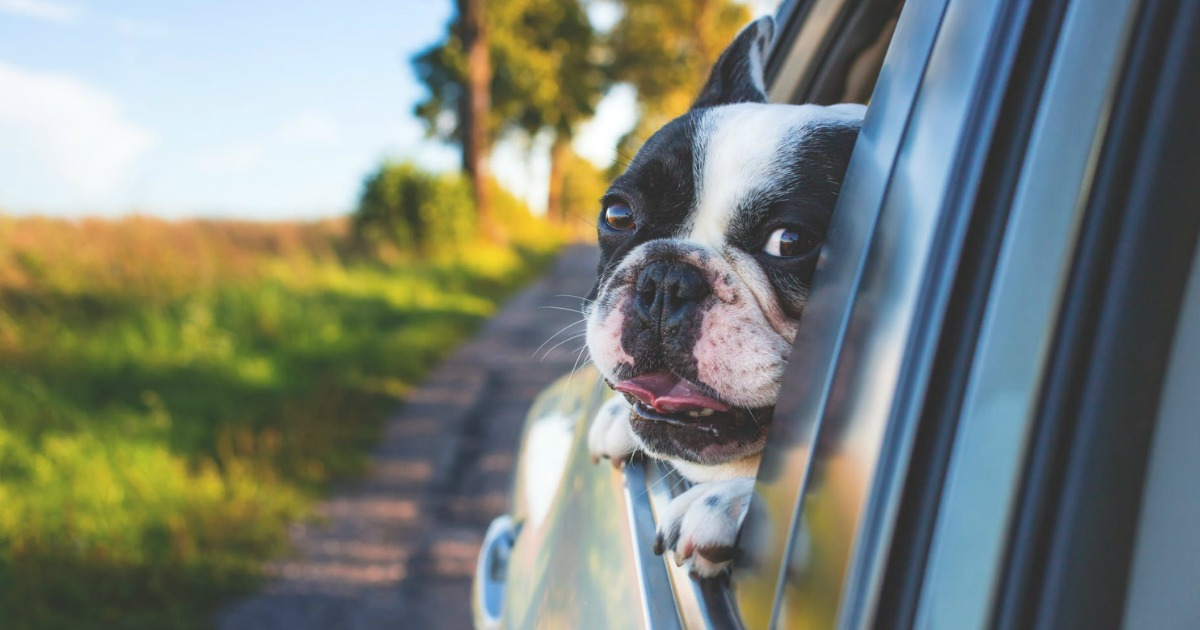 dog with face out of car window