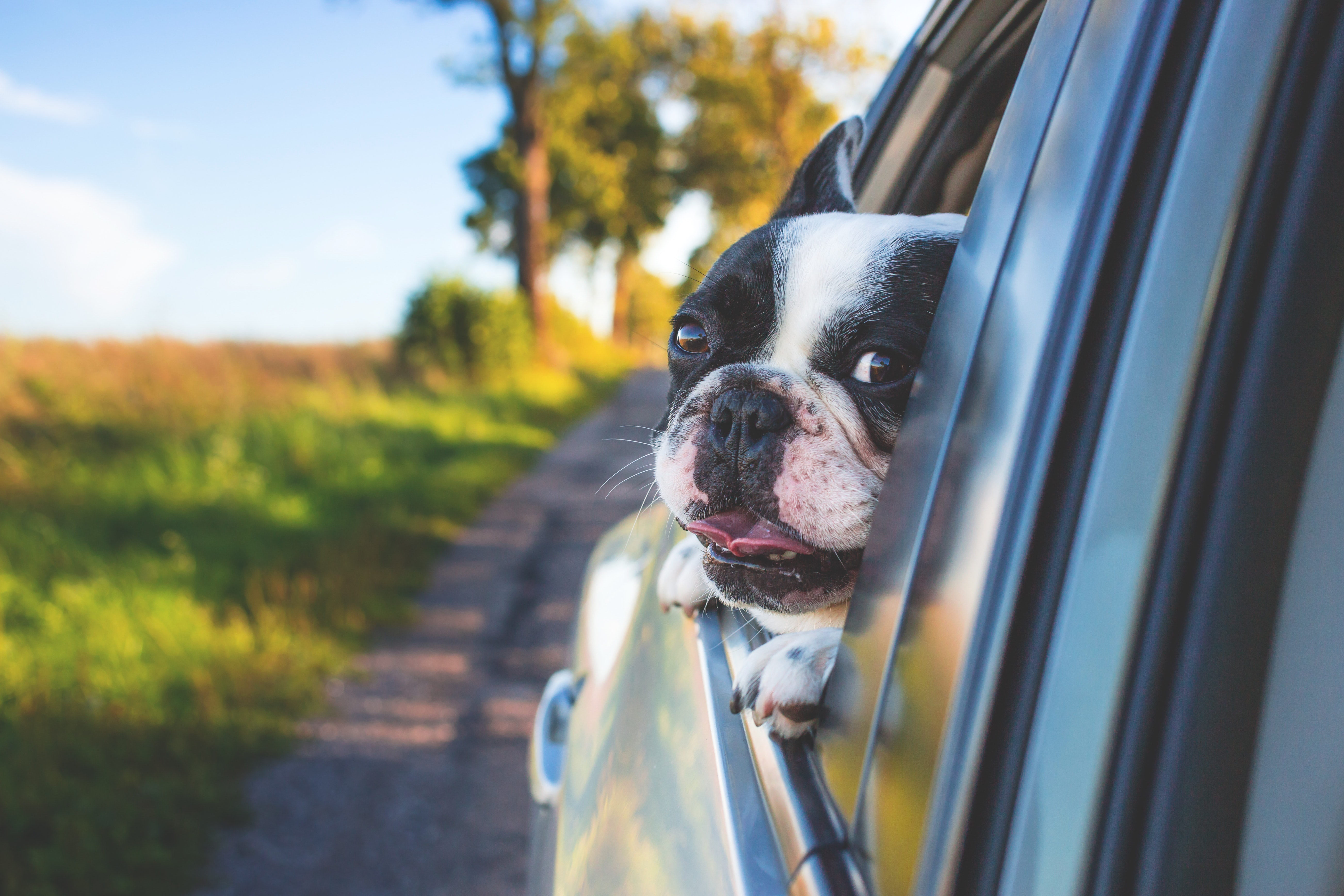 simple tips to save money on gas – dog looking out of a car window