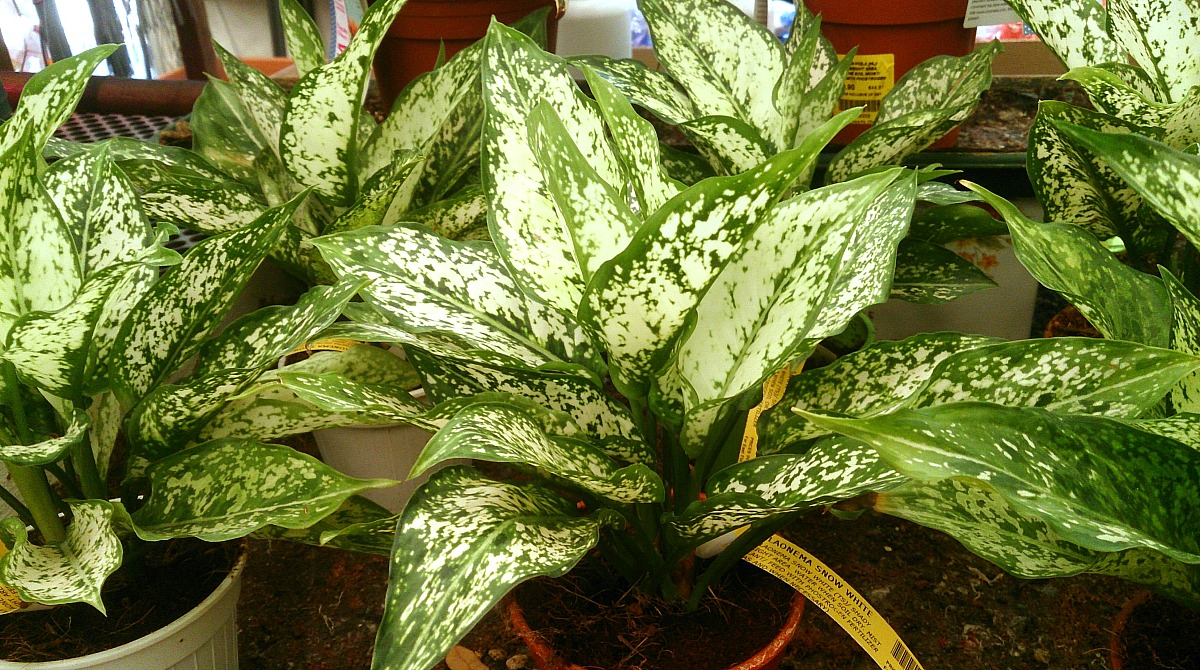 plants that don't require a green thumb — aglaonema
