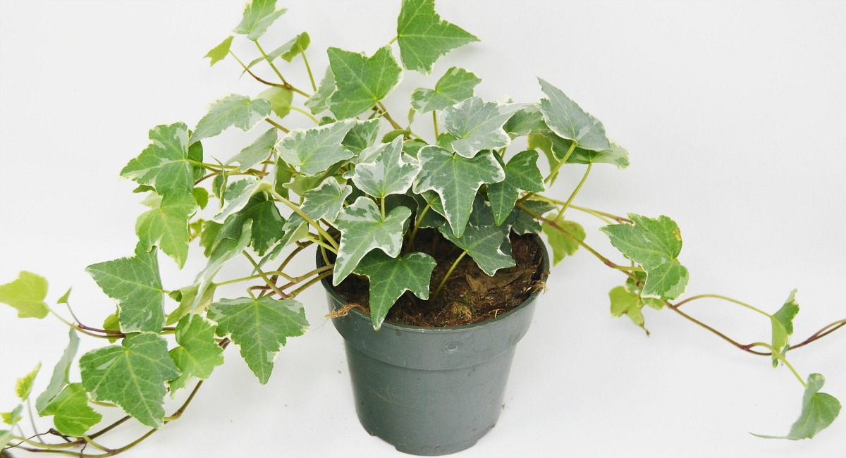 plants that don't require a green thumb — english ivy