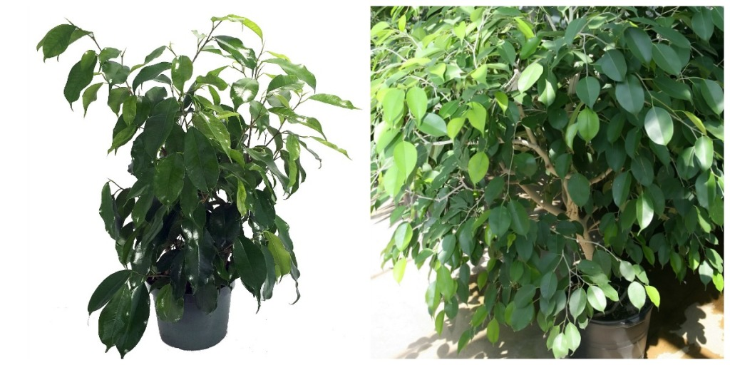 plants that are hard to kill — ficus tree