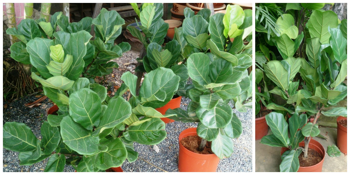 plants that don't require a green thumb — fiddle leaf fig