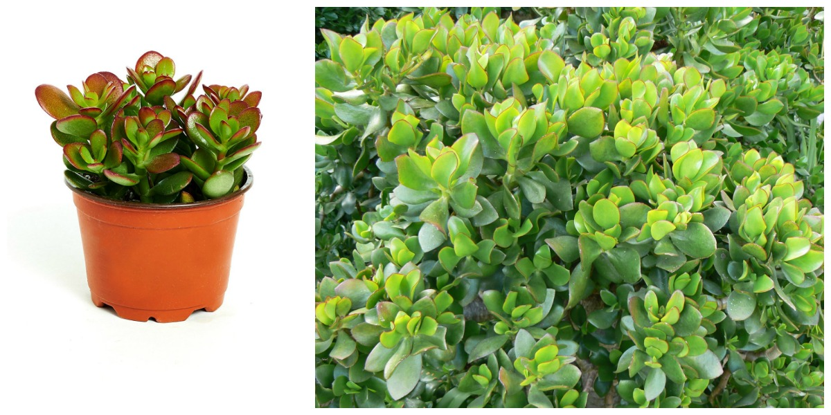 plants that don't require a green thumb — jade plant