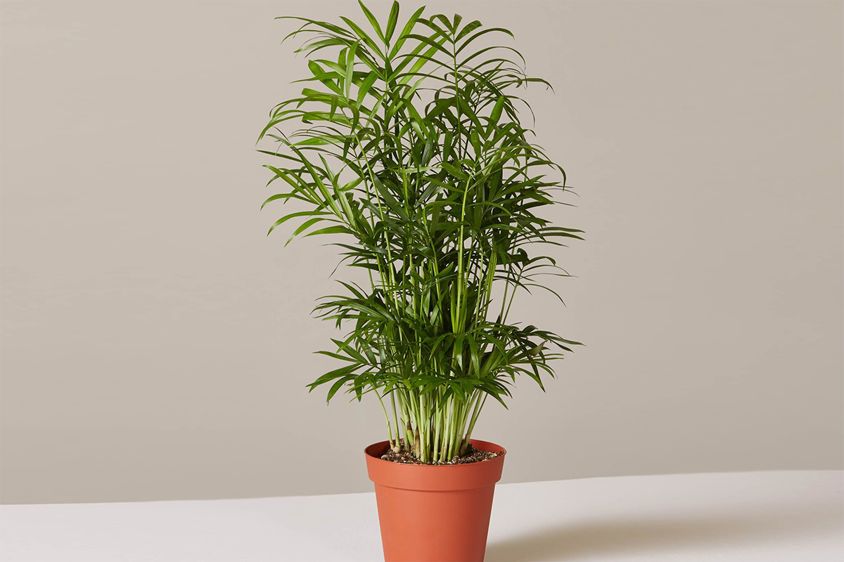 plants that don't require a green thumb — parlor palm