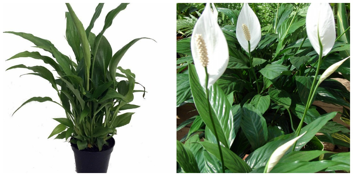 plants that don't require a green thumb — peace lily