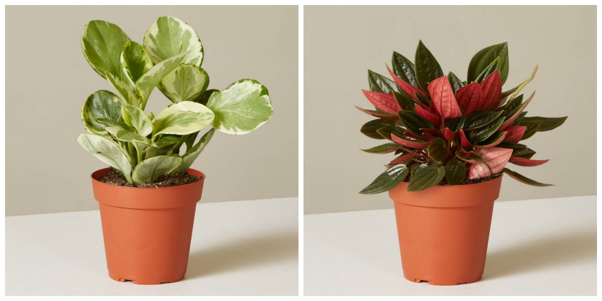 plants that don't require a green thumb — peperomia