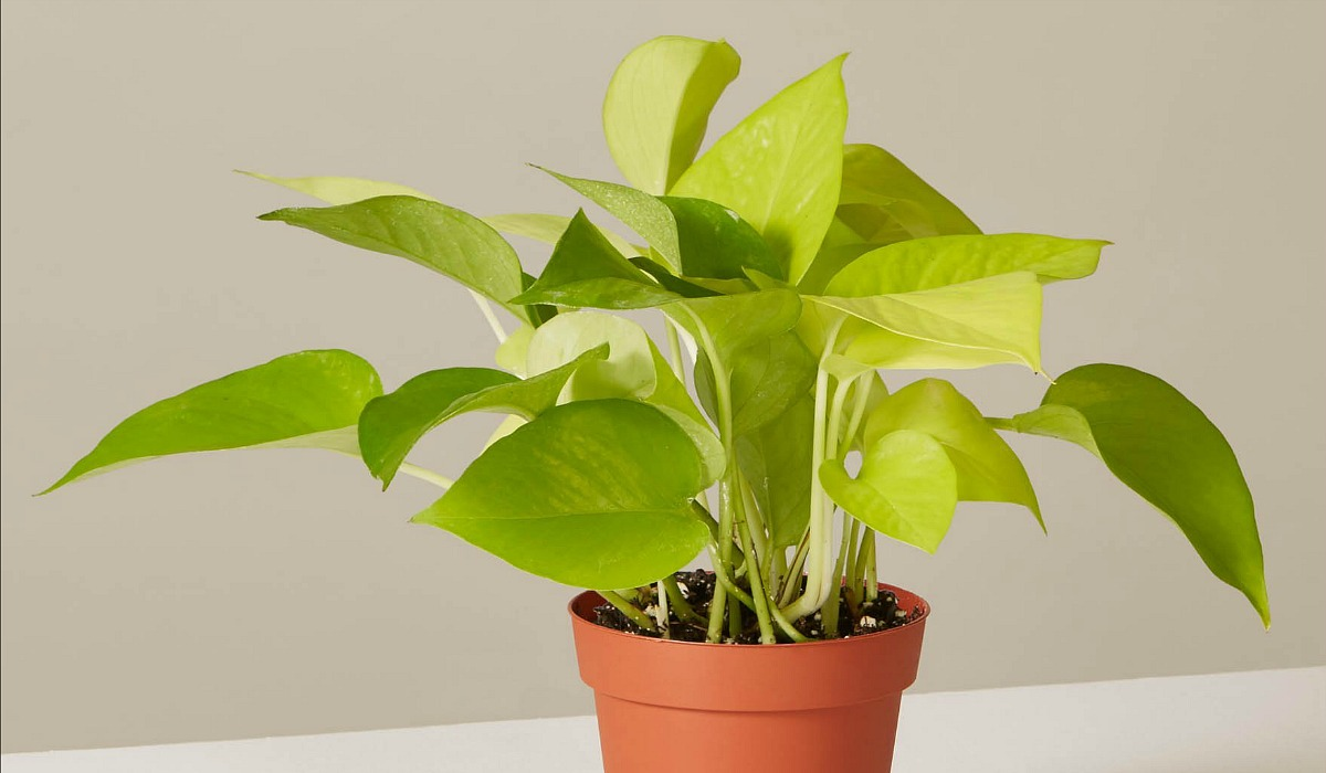 plants that don't require a green thumb — pothos neon
