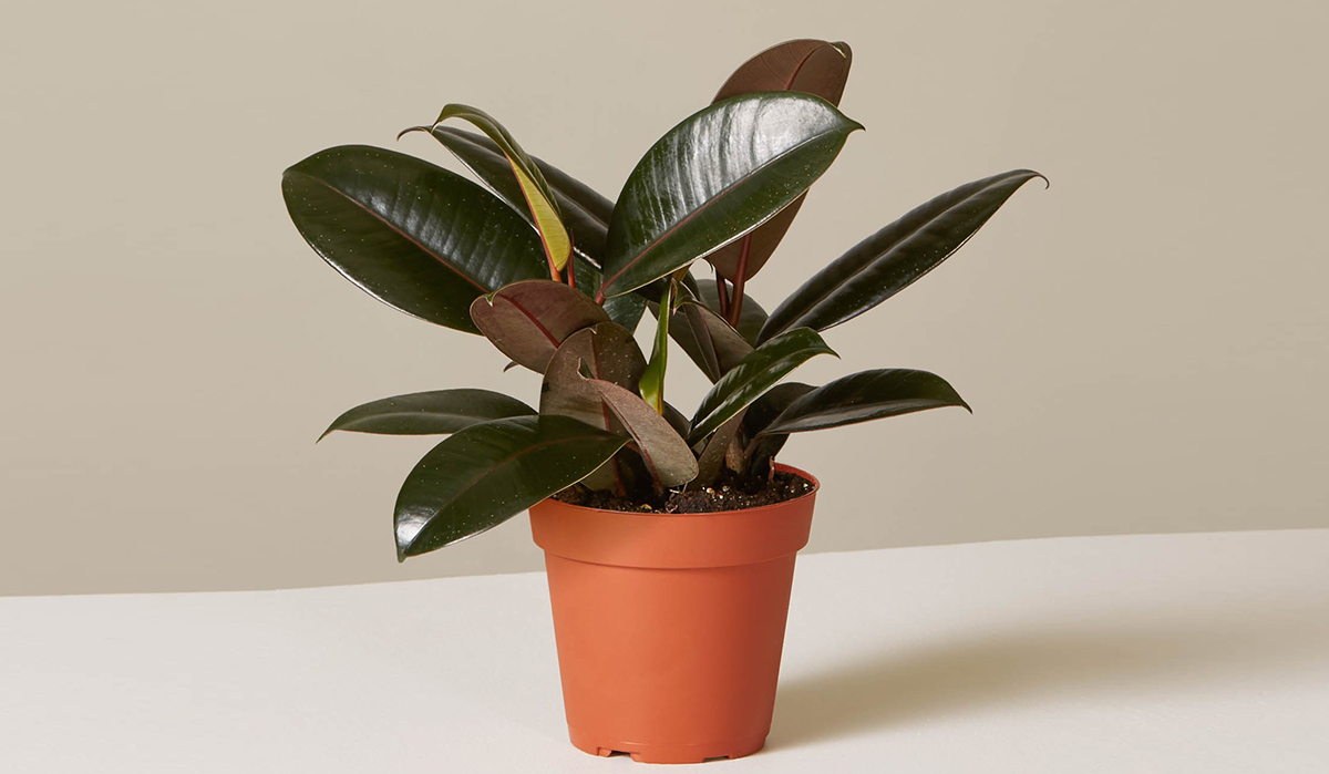 plants that don't require a green thumb — rubber tree plant