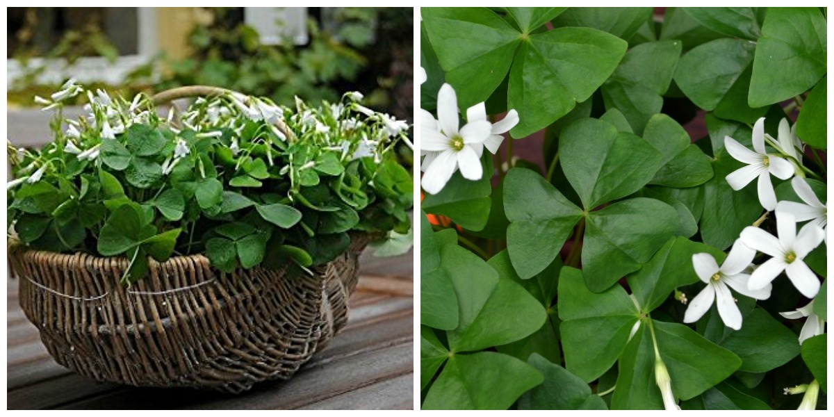 "plants that don't require a green thumb — shamrock ""good luck"" plant"