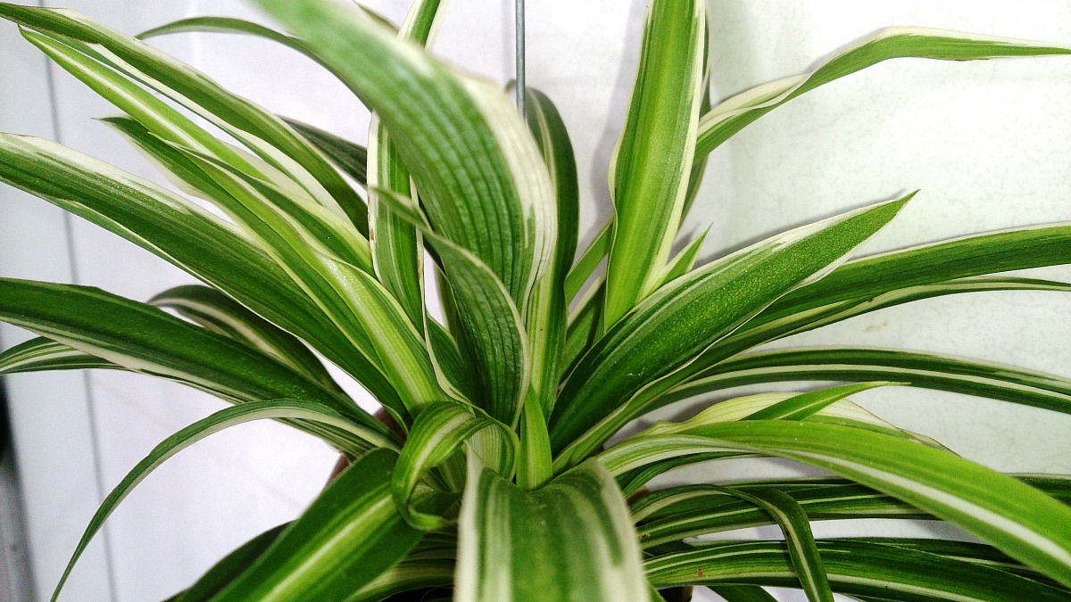 plants that don't require a green thumb — spider plant