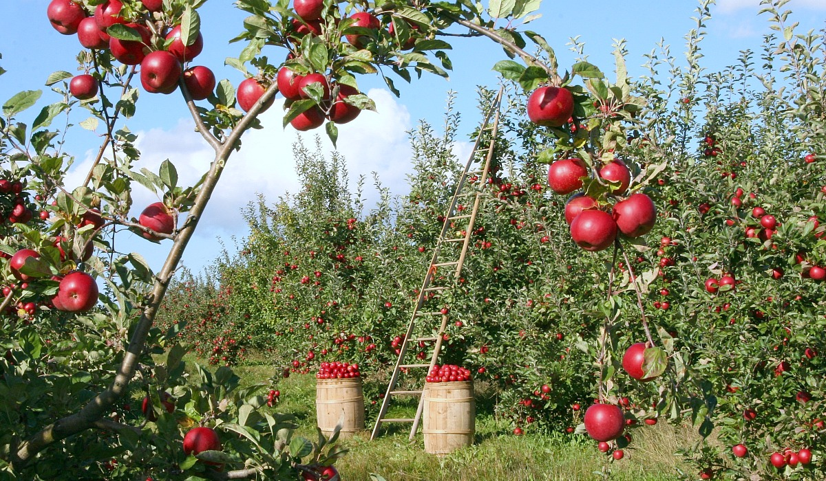 places for free fun fall activities — apple orchard with ladders and baskets of apples