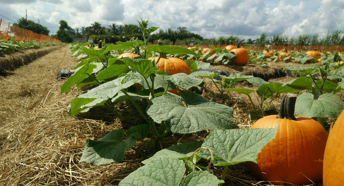 places for free fun fall activities — pumpkin patch with pumpkins on the vine
