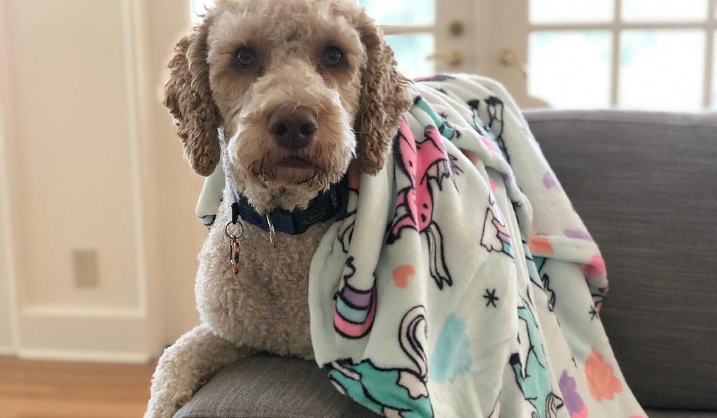 collin weekly round up — collin's dog yoli wearing big one throw blanket