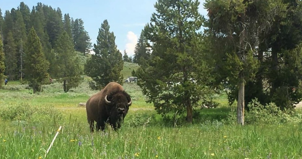 Yellowstone National Park with a Bison