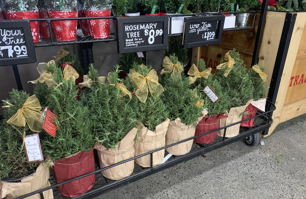 ultimate gift guide ideas under 25 — Trader Joes Rosemary Tree