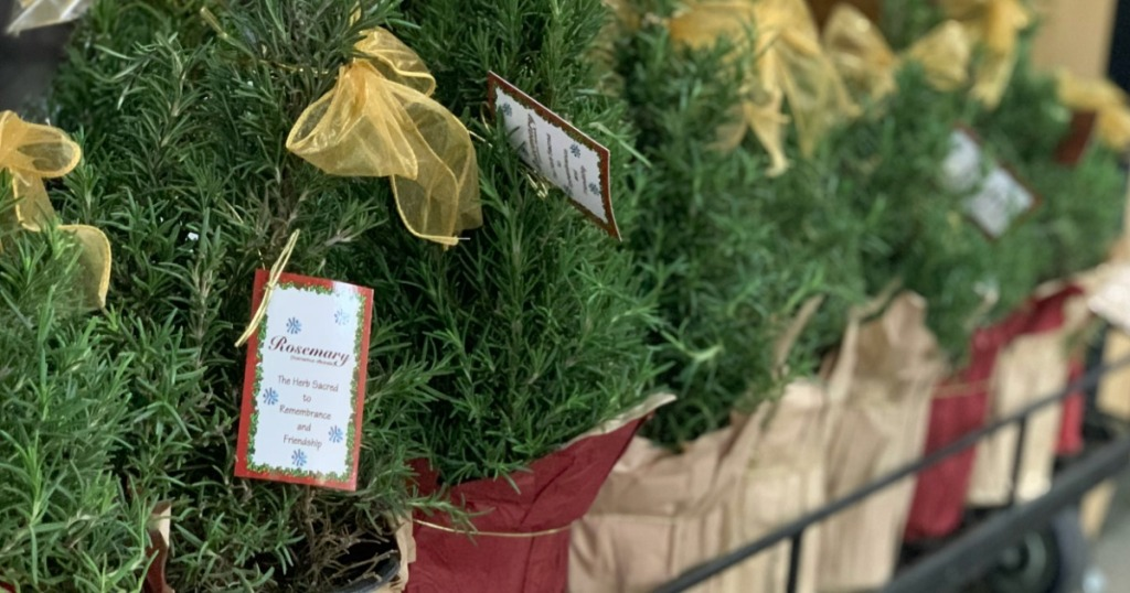 Gift Ideas Under $25 - Rosemary Trees and more