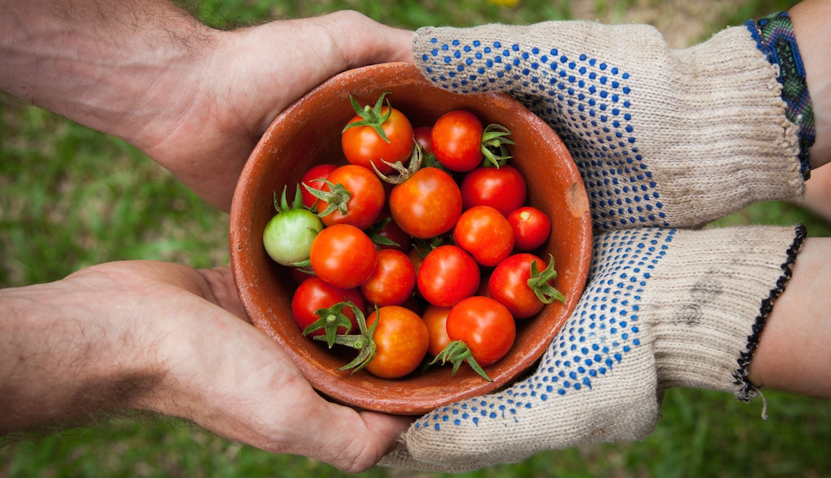 gardening fresh tomatoes in a bowl