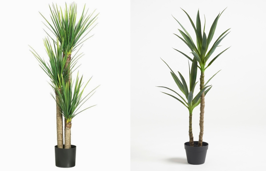 side by side stock photos of yucca trees