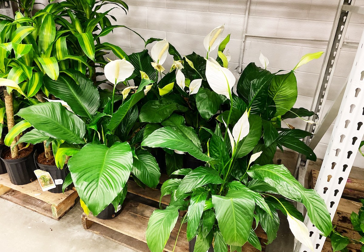 green plants with leaves and white flowers sitting on store shelf