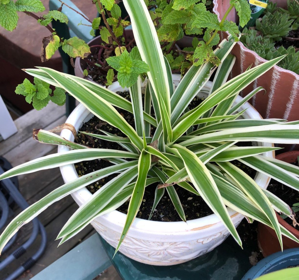 easy care spider plant