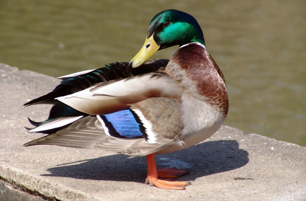real duck by pond
