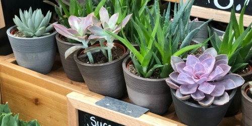 Trader Joe's Potted Succulents as Low as $5.99 (Easy To Care For Plants)