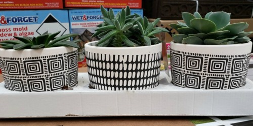 5″ Potted Succulents 3-Pack Only $17.99 at Costco