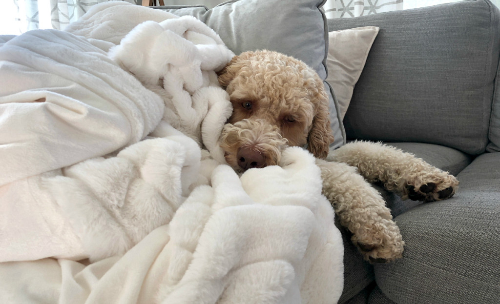 white throw blanket covering dog on couch