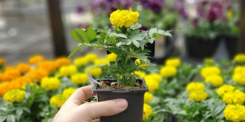 Lowe's 2-Day Sale: Annuals Only 88¢, Scotts Turf Builder Spreader Just $19.99 + More