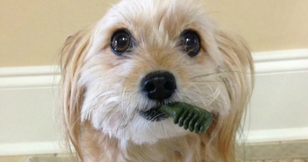 Greenies in dogs mouth