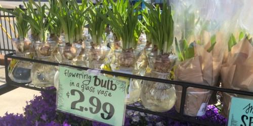 Trader Joe's Flowering Bulb in Glass Vase Just $2.99 & More