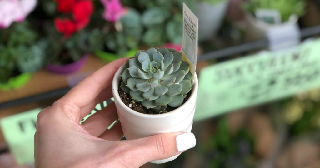 Premise Indicator Words: Traders Joe's Spring Deals: Succulents, Flowering Minis & More