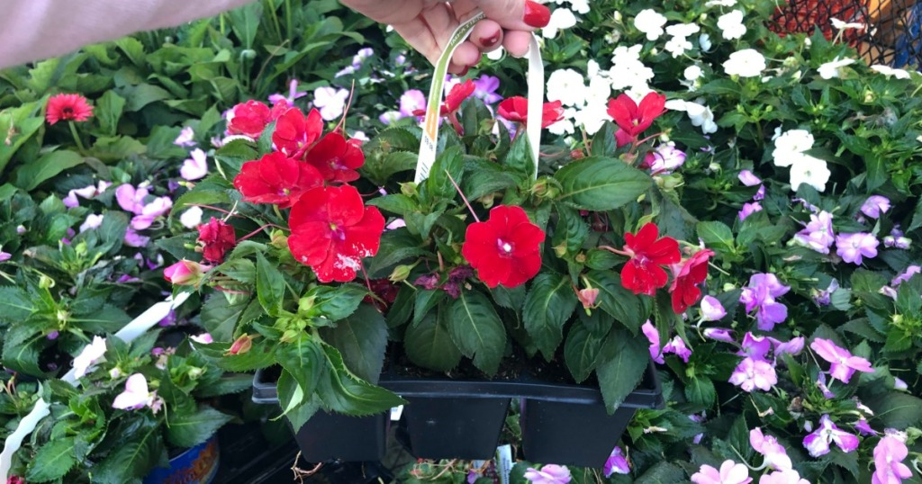 12 Pack Annuals Only 2 10 At Home Depot Just 5 Each Hip2save