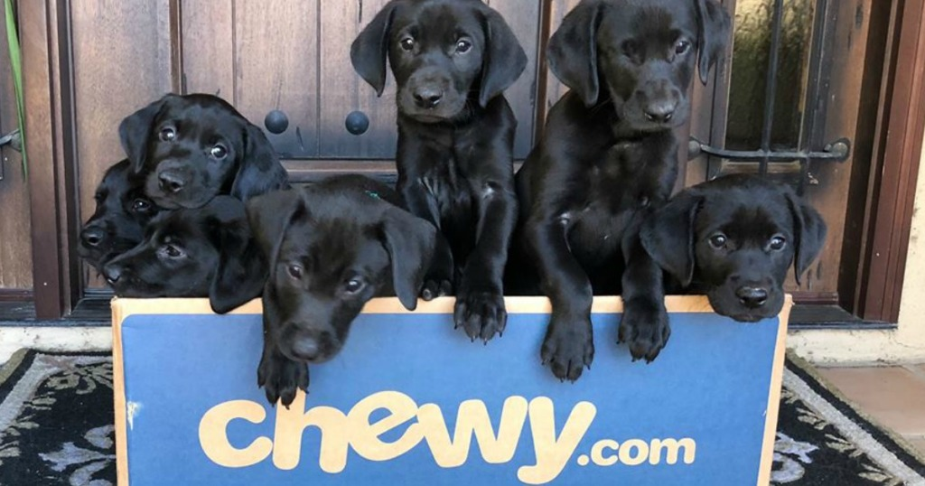black lab puppies inside a blue chewy shipping box