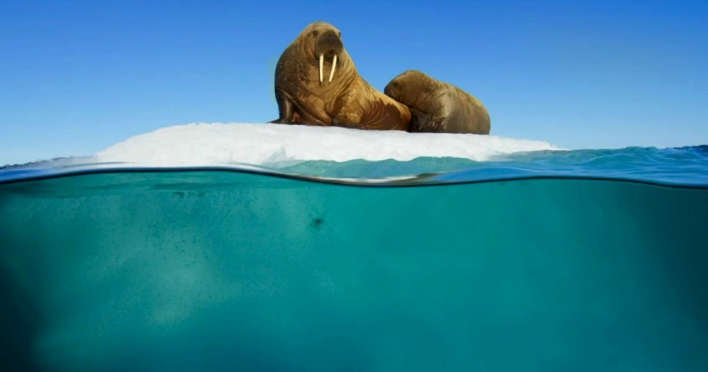 two walruses sitting on a chunk of ice over very blue water