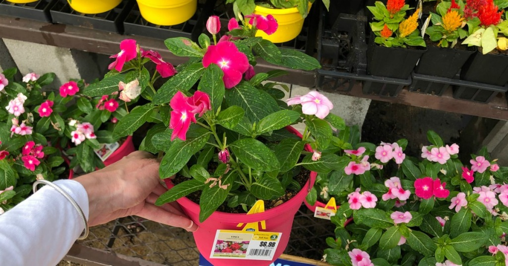 hand holding pink perennial flower in pot in front of other flowers at store