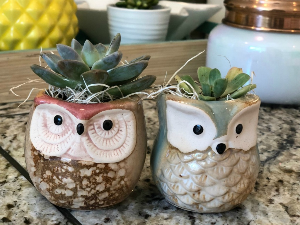 baby succulents planted into two adorable owl containers and sitting on a kitchen shelf