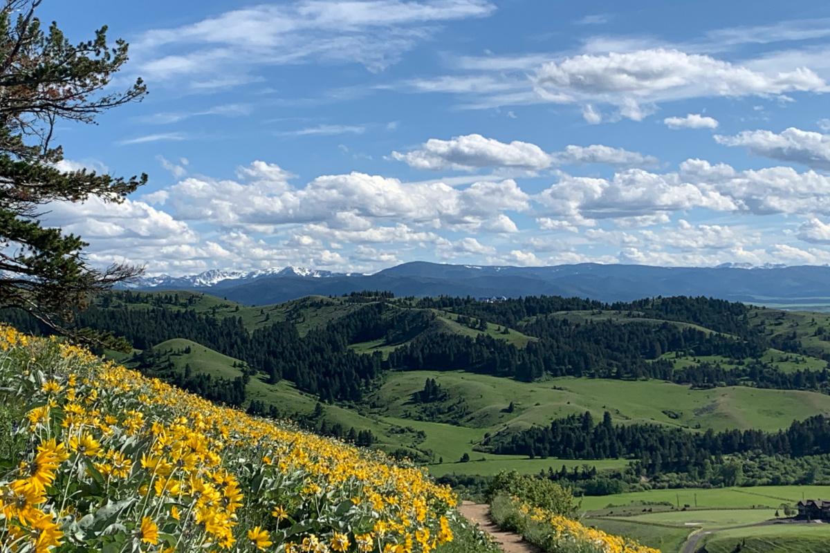 field of yellow flowers on Montana mountain