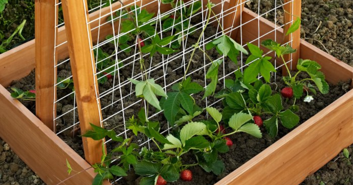 garden planter trellis with strawberries in bloom