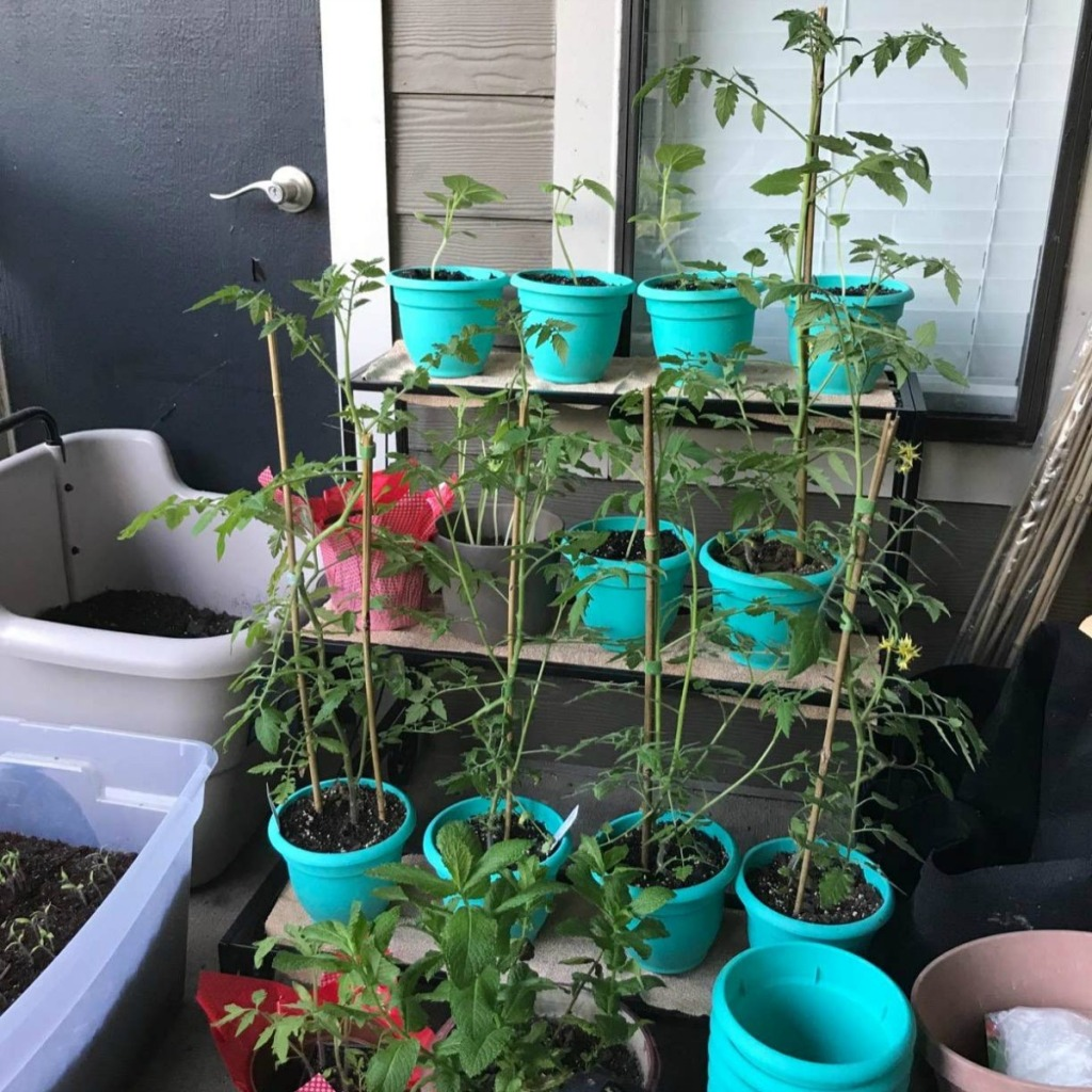 collection of teal colored planters with tomato plants