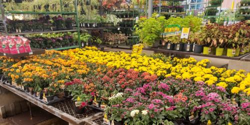 Lowe's Labor Day Sale LIVE NOW | 88¢ Mums, BOGO Rose Bushes & More