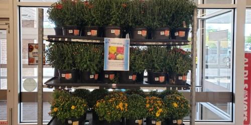 Mums 5-Quart Planters Only $2.99 at ALDI