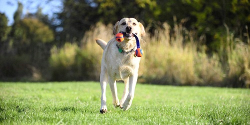 Chuckit! Dog Toys as Low as $2.35 at Amazon | Launchers, Balls & More