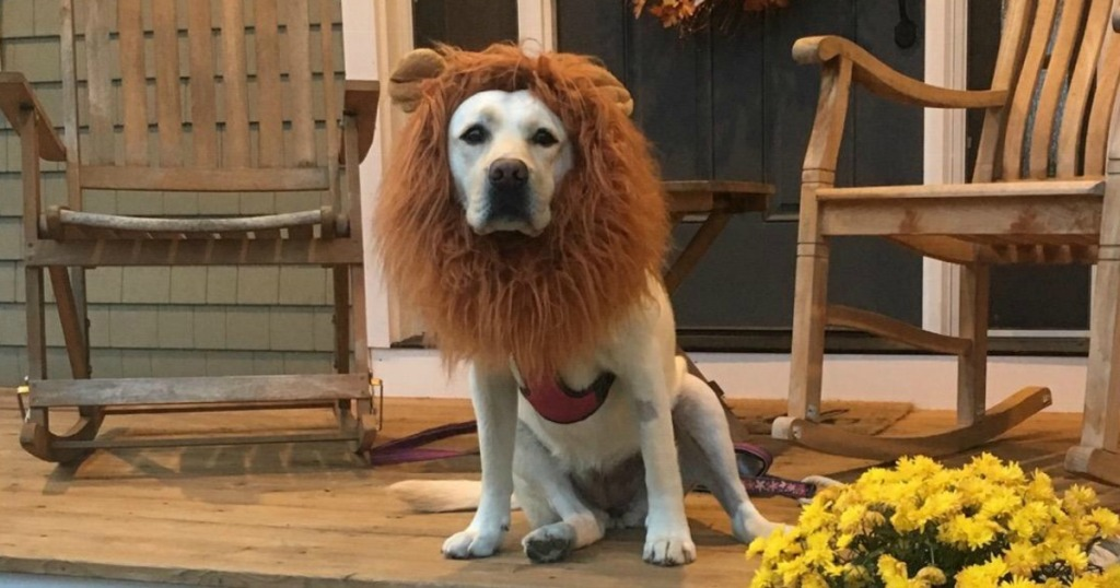 Dog wearing Lion Mane costume on front porch